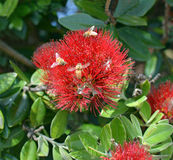 Pszczoły na Pohutukawa kwiacie, Nowa Zelandia Obrazy Royalty Free