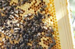 Pszczoły na ramie Fotografia Stock
