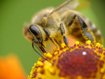 pszczoły pollen zbieracki miodowy Fotografia Stock