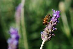 pszczoły praca Zdjęcie Royalty Free
