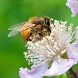 pszczoły praca Fotografia Stock