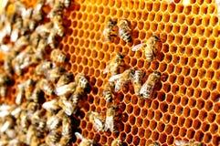 Pszczoły praca na honeycomb Miodowy komórka wzór Apiculture Zdjęcie Stock