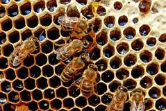 pszczoły pracy Fotografia Stock