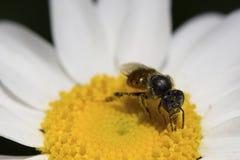 Pszczoły stokrotka Obrazy Royalty Free