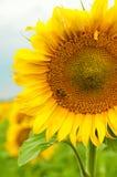 pszczoły sunwlofer obrazy royalty free