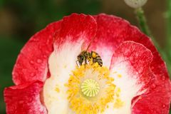 Pszczoły w kwiatach Zdjęcia Royalty Free