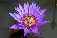 Pszczoły zbiera miód Fotografia Stock