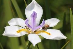 Pszczoły zbieracki pollin Obrazy Royalty Free