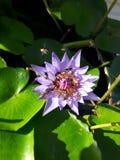 Pszczoła z lotosowym kwiatem Zdjęcia Stock