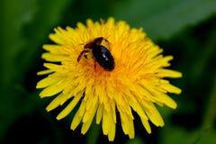 Pszczoła zapyla dandelion Fotografia Royalty Free