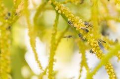 Pszczoła zapyla grupy Zdjęcia Stock