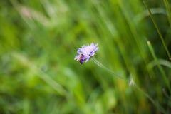 Pszczoła zapyla kwiatu Zdjęcie Stock