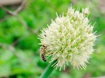 Pszczoła zapyla kwiatu Obrazy Stock
