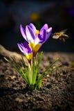 pszczoła zbiera kwiatu miodu nektar Obrazy Royalty Free