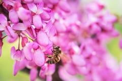Pszczoła zbiera miód od kwiatów na drzewie Obraz Royalty Free