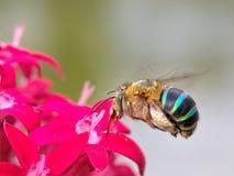 Pszczoła Zbiera na Czerwonym kwiacie fotografia stock