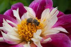 Pszczoła zbiera pollen na daliach obrazy stock