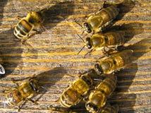 pszczoła zegarki Obrazy Royalty Free