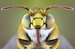 Pszczoła Fotografia Royalty Free