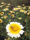 Pszczoła i kwiaty Obrazy Royalty Free