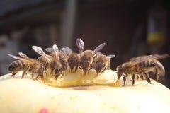 Pszczoła je obiad Zdjęcie Stock