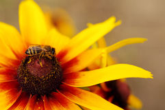 Pszczoła na kolor żółty kultywującym kwiacie zbiera nektar Zdjęcie Royalty Free