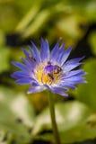 Pszczoła na pięknym lotosowym kwiacie Obrazy Royalty Free