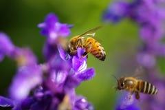 pszczoła ruchliwie Obrazy Stock