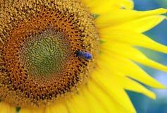 Pszczoła z słonecznikiem Zdjęcia Stock