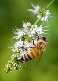 pszczoła zajęty Zdjęcia Royalty Free