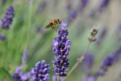pszczoła zajęty Obrazy Royalty Free