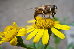 pszczoły kwiatu kolor żółty Zdjęcia Stock