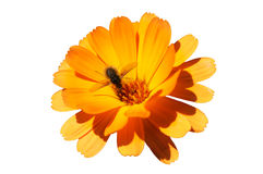 pszczoły kwiatu miód Zdjęcie Stock