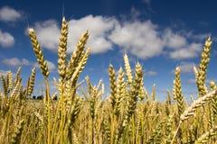 pszenica błękitne niebo. Obraz Royalty Free
