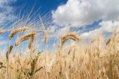 pszenica błękitne niebo Obrazy Stock