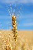 pszenica rolnicza Obraz Stock