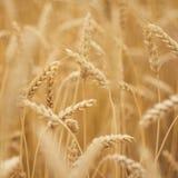 pszenica złota Fotografia Stock
