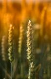 pszenica, zachód słońca Fotografia Royalty Free