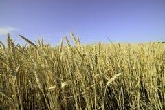 Pszeniczna kukurudza obrazy royalty free