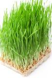 Pszeniczna trawa Obrazy Stock