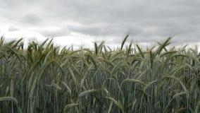 Pszeniczna uprawa w polu, selekcyjna ostrość zbiory