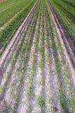 pszeniczna zima Zdjęcia Stock