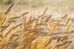 Pszenicznego pola żniwo, w pełni dojrzali kukurydzani ucho na pogodnym letnim dniu, żniwo czas, zbliżenie nasłoneczniony, tekstur obraz stock