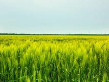Pszenicznego pola fala Ruszać się lato wiatru naturą Zdjęcia Royalty Free