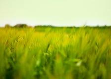 Pszenicznego pola fala Ruszać się lato wiatru naturą Obrazy Stock