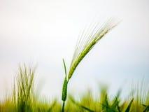 Pszenicznego pola fala Ruszać się lato wiatru naturą Obraz Royalty Free