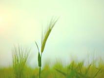 Pszenicznego pola fala Ruszać się lato wiatru naturą Fotografia Stock