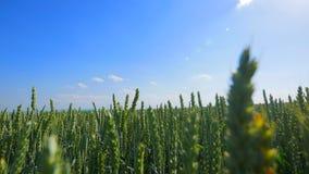 Pszenicznego pola fala Ruszać się lato wiatru niecki natury tłem Fotografia Stock