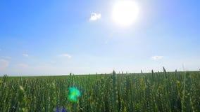 Pszenicznego pola fala Ruszać się lato wiatru niecki natury tłem Obraz Royalty Free