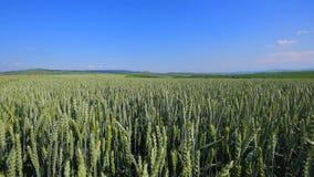Pszenicznego pola fala Ruszać się lato wiatru niecki natury tłem Zdjęcie Stock